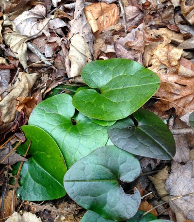 Chattooga River Trail - wild ginger