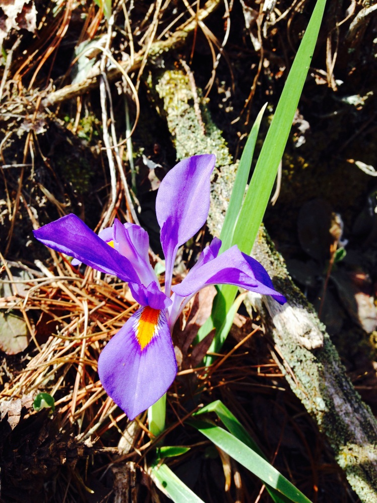 Gorges State Park - Dwarf Crested Iris