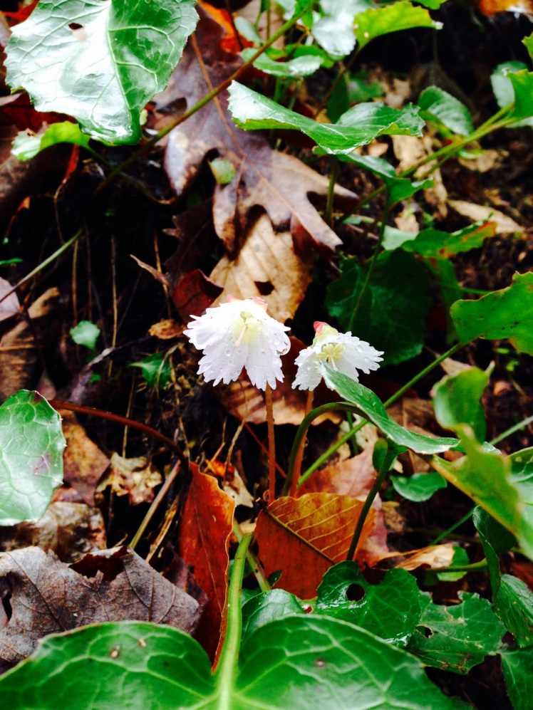 Gorges State Park - Oconee Bells