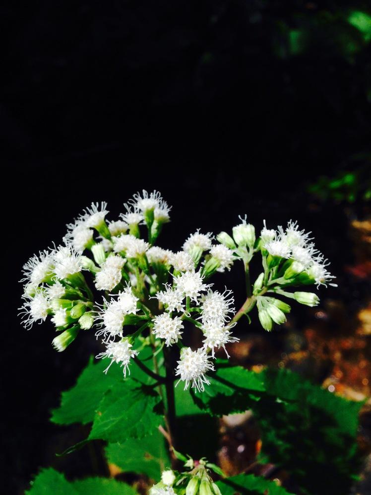 snakeroot flower