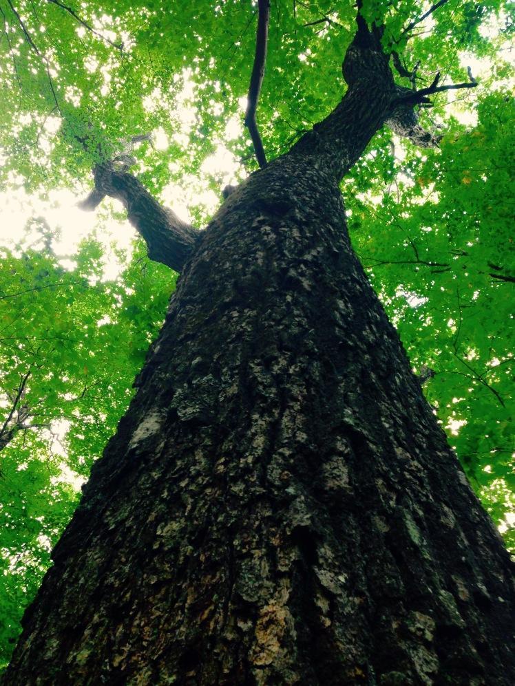 giant poplar