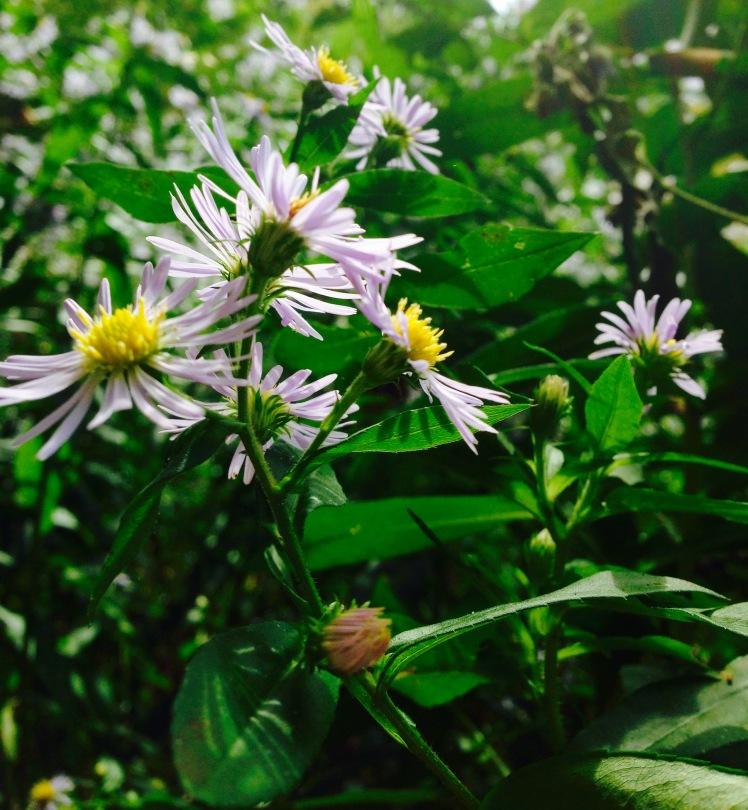 Middle Prong Wilderness - Buckeye Gap Trail