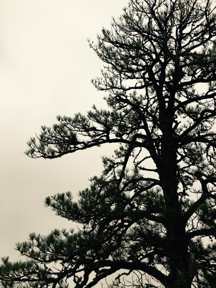 Bennett Gap Trail - pine in fog