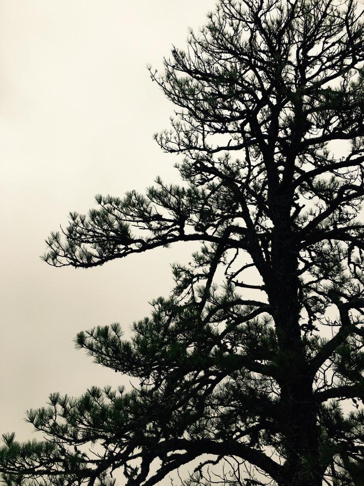Bennett Gap Trail - pine in fog
