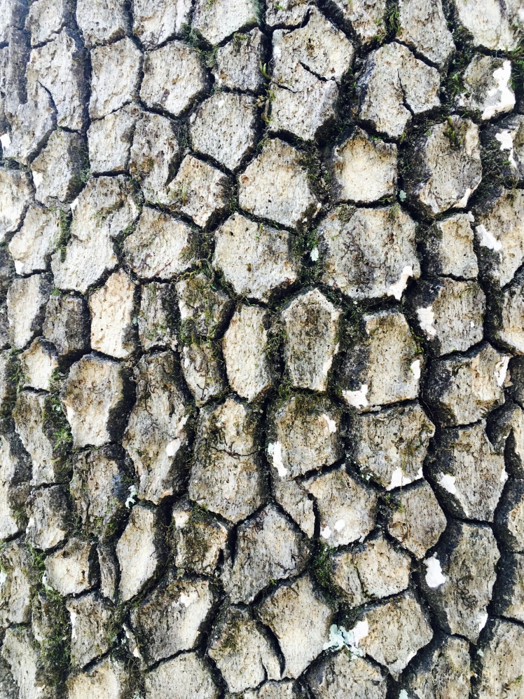Buckwheat Knob Trail - bark