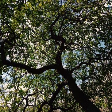 Coontree Loop Trail - holly tree