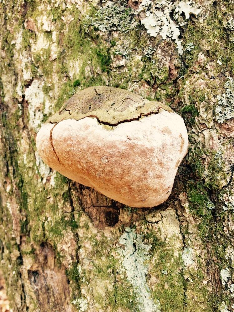 Black Mountain Trail - ancient tree
