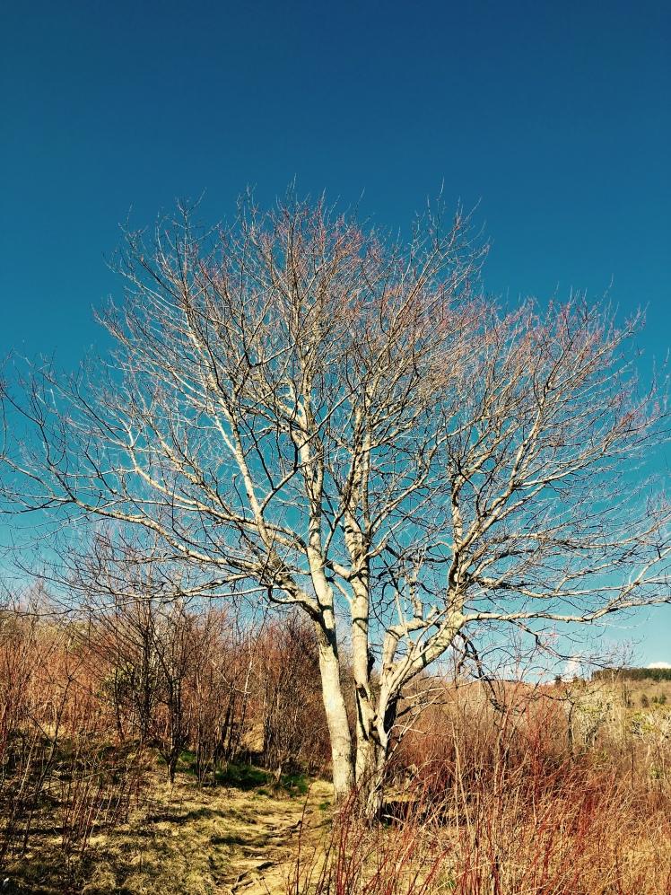Sam Knob Trail - tree