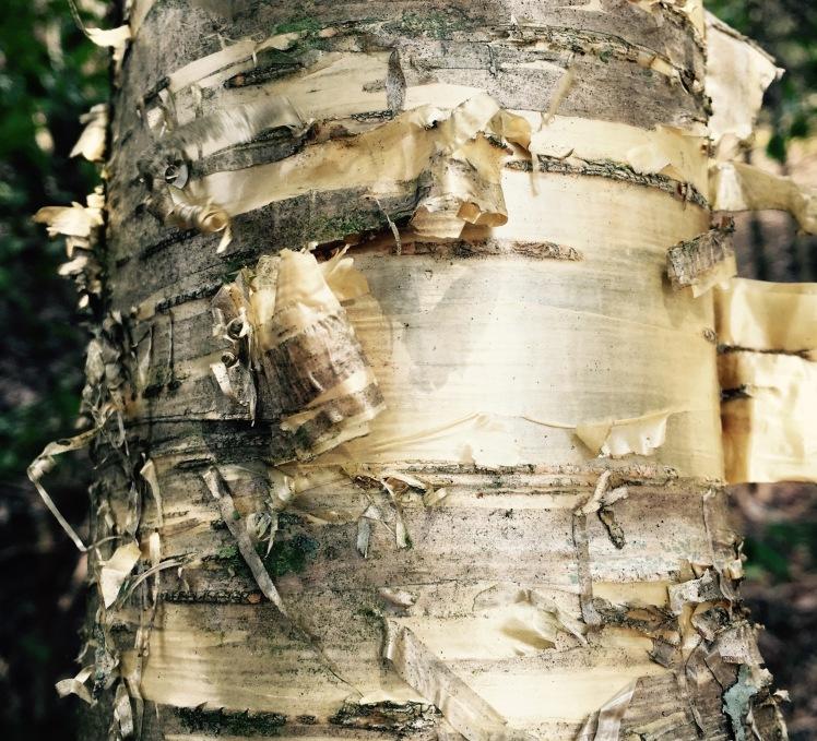Little Sam Trail - birch tree