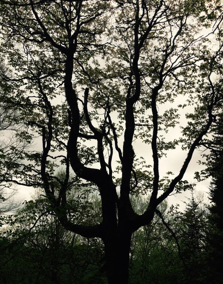 Buckeye Gap Trail - tree