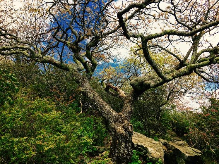 Mt. Pisgah Trail - ancient tree