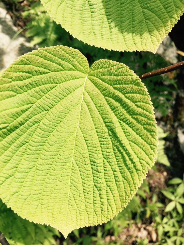 Mt. Pisgah Trail - foliage (by Emily)