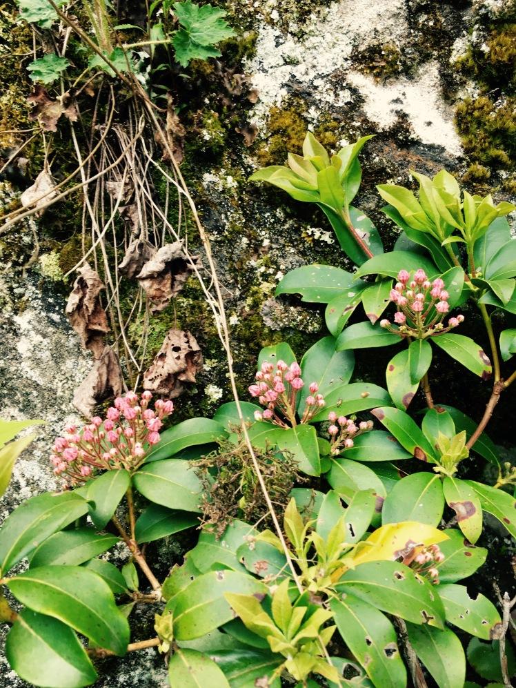 Mt. Pisgah Trail - mountain laurel (by Emily)