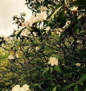 Mt. Pisgah Trail - rhododendron