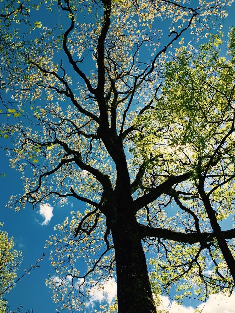 Mt. Pisgah Trail - tree in sun