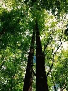Nichols Cove Trail - poplars