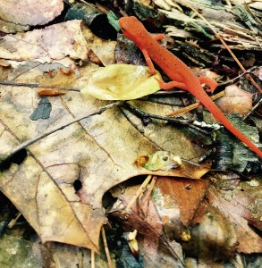 Nichols Cove Trail - red eft