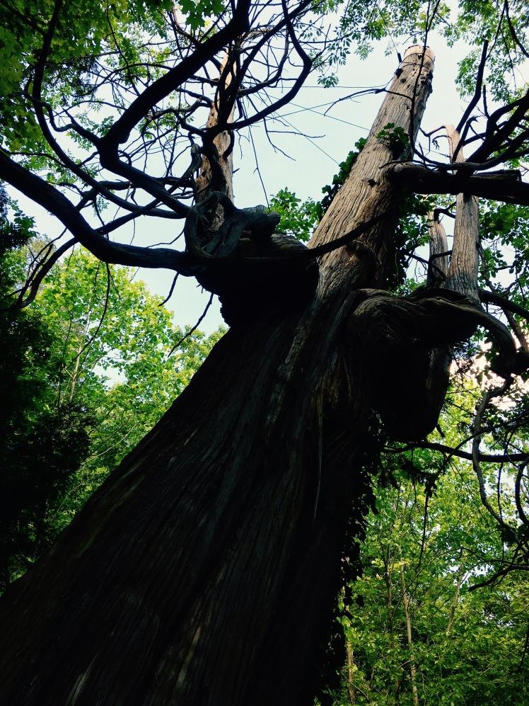 Arbor Vitae Tree