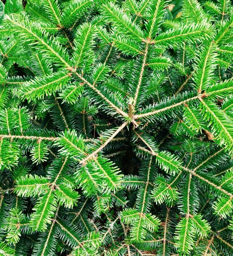 spruce fir