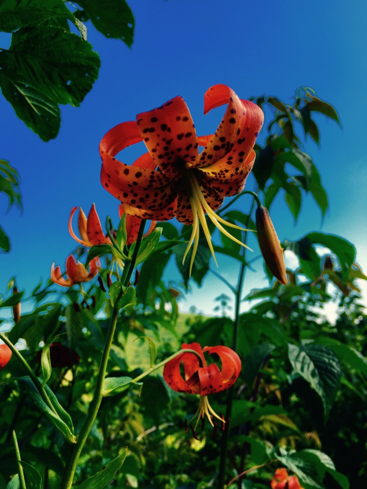 Turk's Cap Lilly