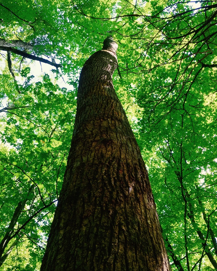 Bartram Trail - poplar