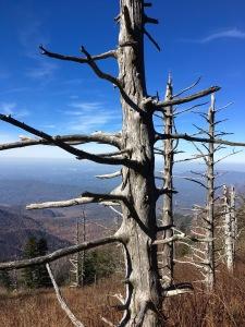 Appalachian Trail - hemlock