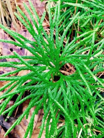 Wolf Branch Trail - Club Moss