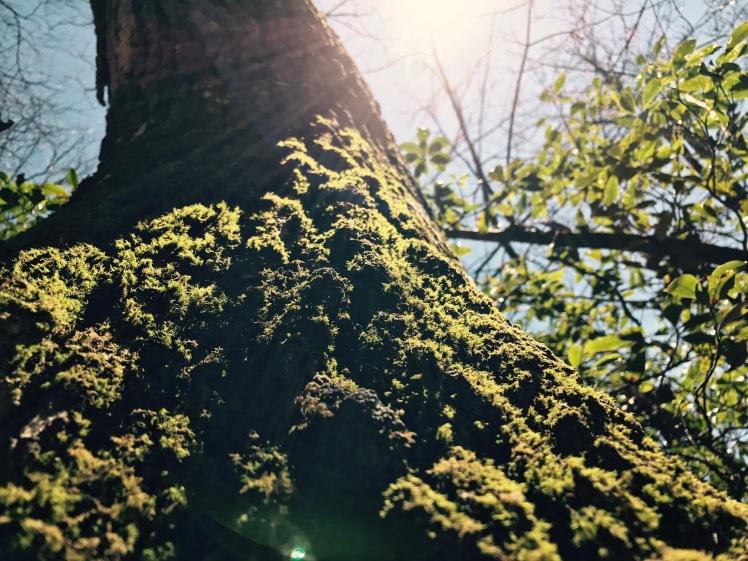 Pilot Cove-Slate Rock Trail - moss in sun