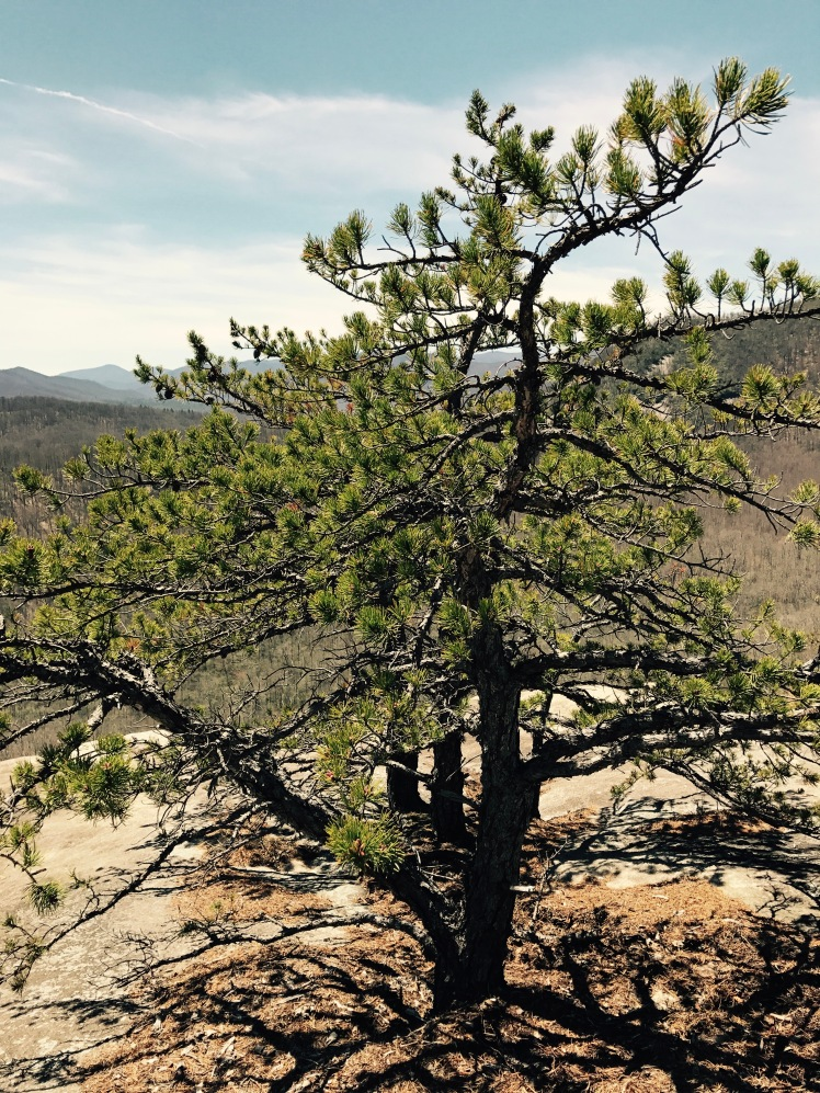 Slate Rock - pine tree