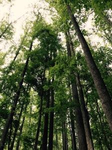 Baxter Creek Trail - trees