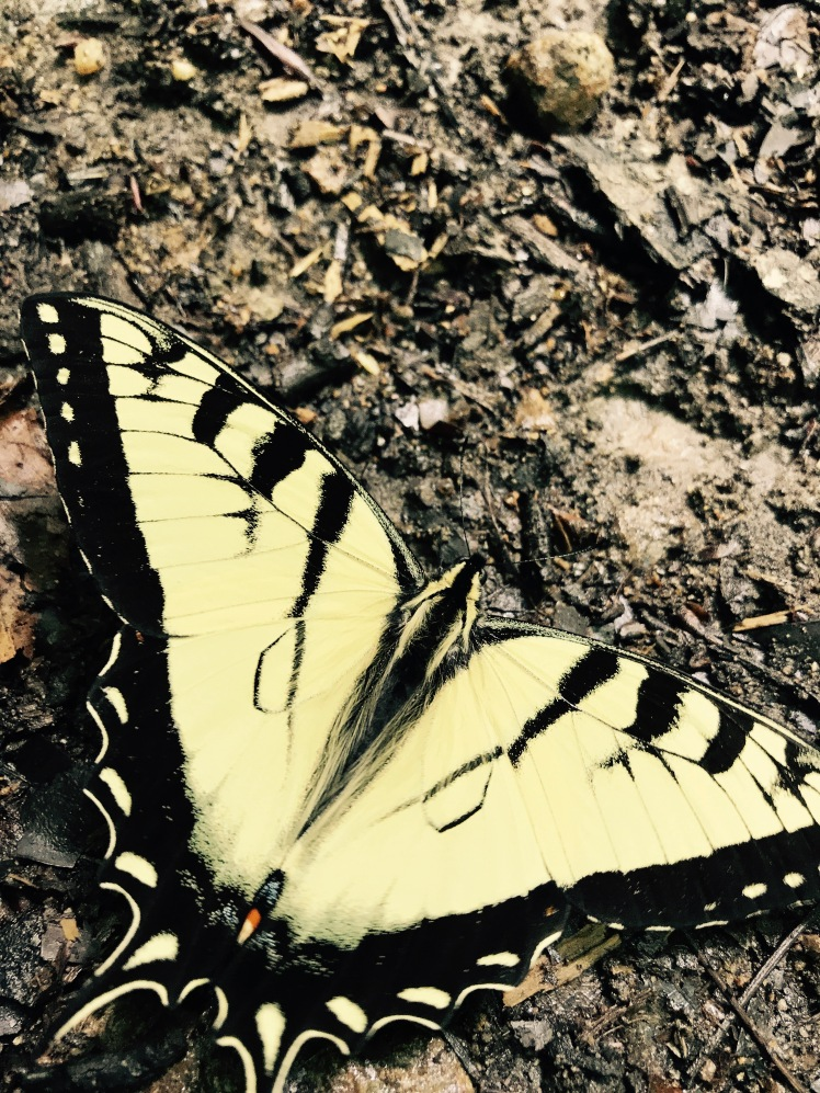Big Creek Trail - butterfly
