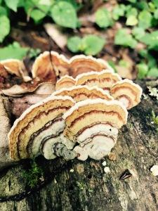 Big Creek Trail - mushrooms