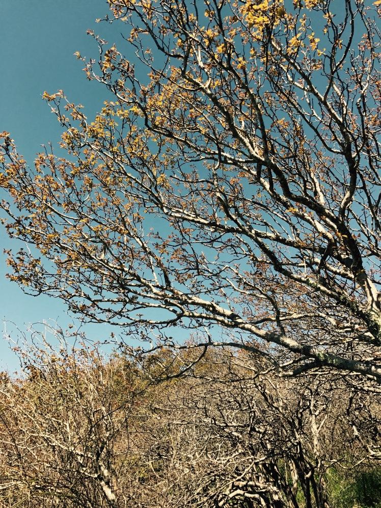 Elk Knob State Park - Summit Trail - tree