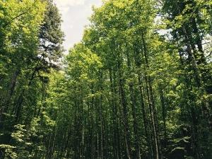 Bradley Creek Trail - trees