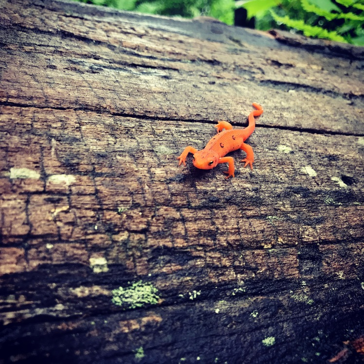 Daniel Boone Scout Trail - red eft