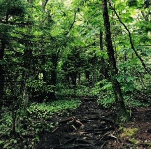 Daniel Boone Scout Trail - roots