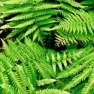 Mullinax Trail - ferns