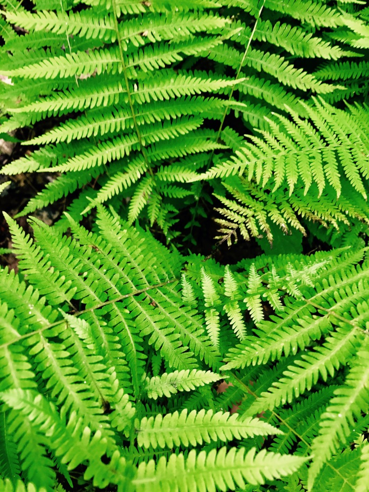 Mullinax Trail - ferns