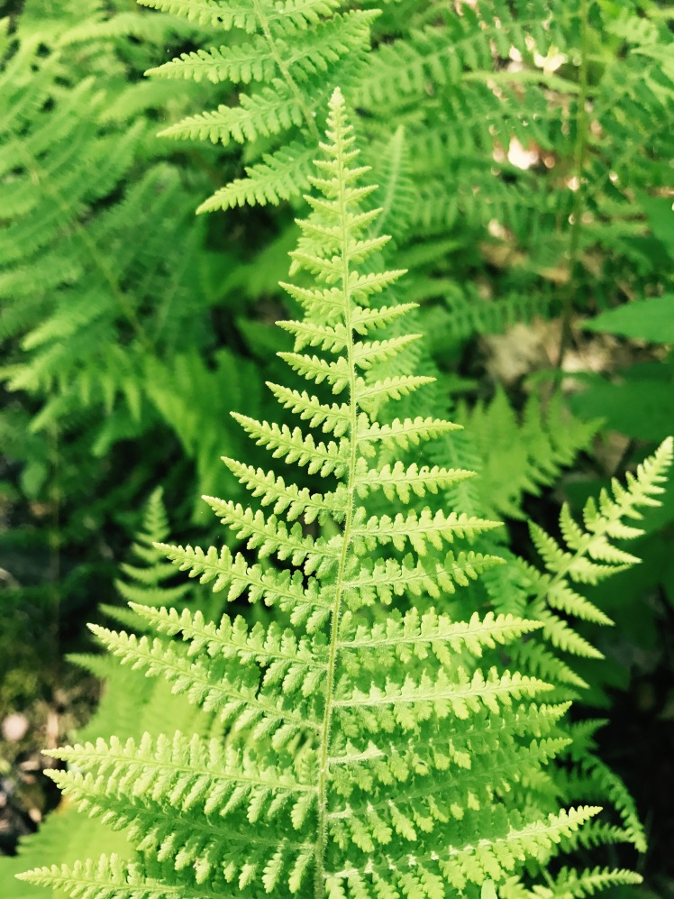 Summit Trail - fern