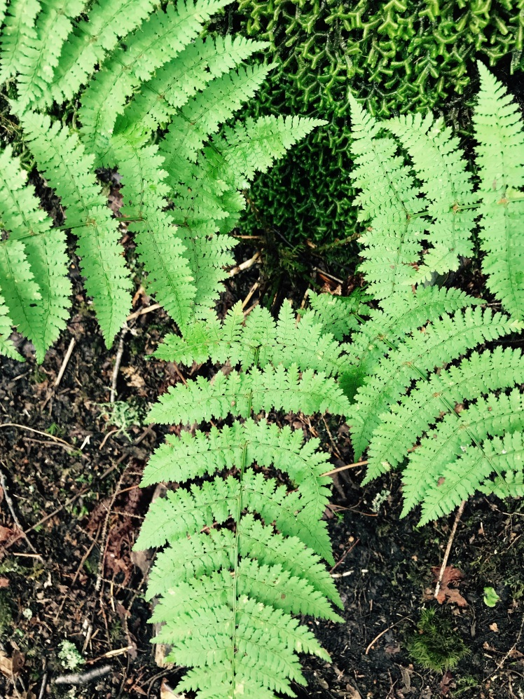 Cragway Trail - ferns