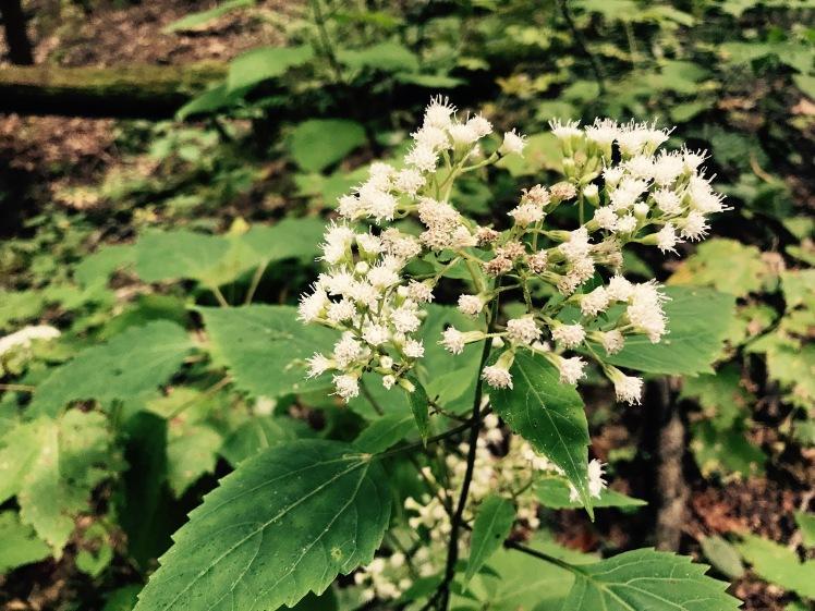 Wagon Road Gap Trail - flowers