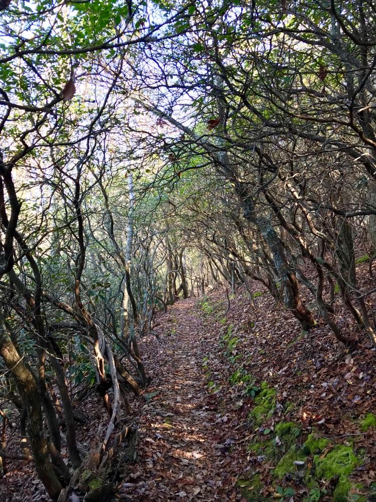 Shut-In Trail - rhododendron