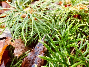 Chestnut Branch Trail - club moss