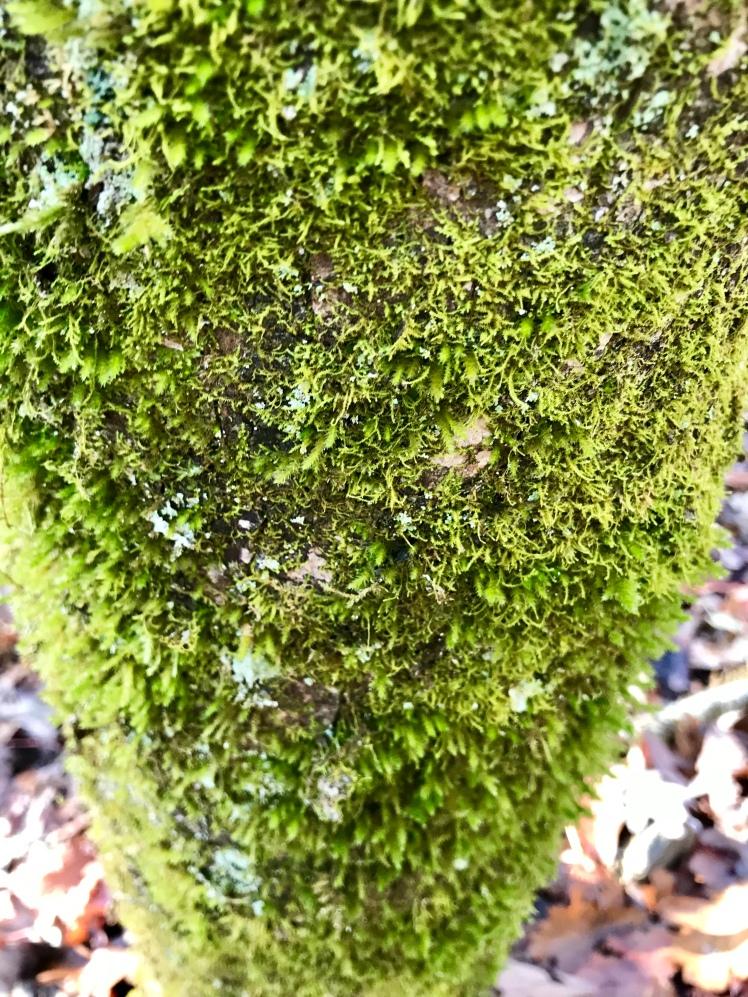 Chestnut Branch Trail - moss