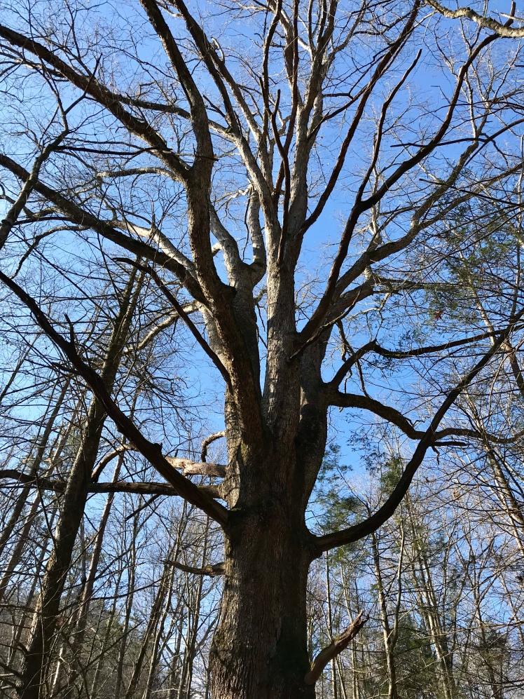 Chestnut Branch Trail - tree