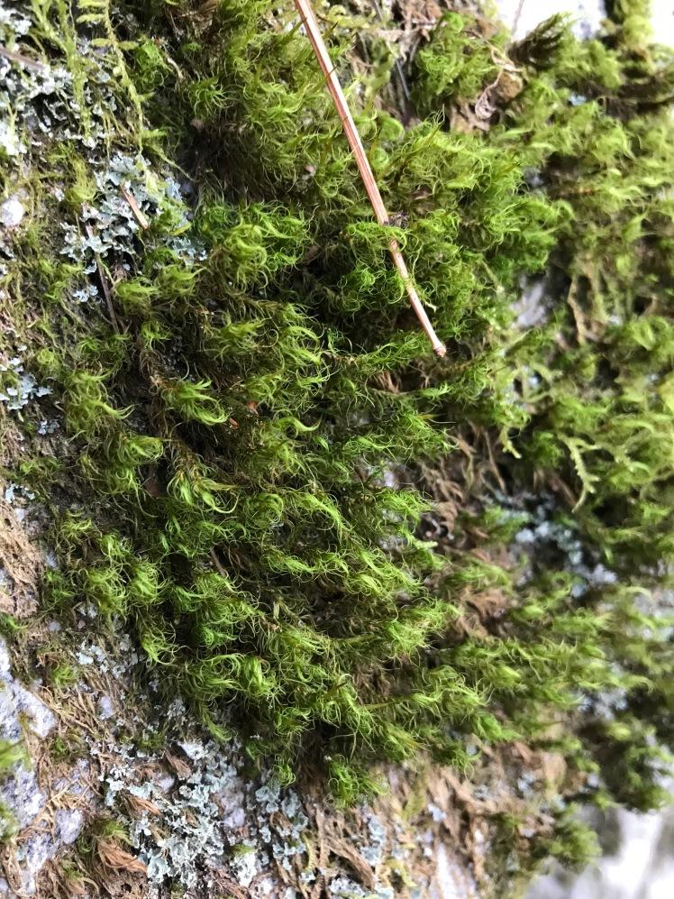 Hawksbill Mountain Trail - moss