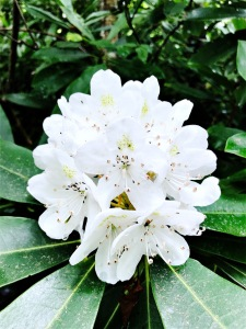 Camp Creek Bald - rhododendron