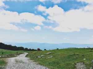 Bearwallow Mountain - cows in field