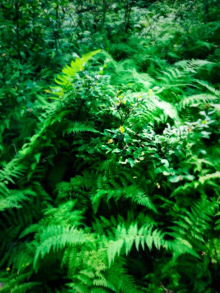 Bearwallow Mountain Trail - ferns