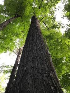 Hemphill Bald Trail - poplar